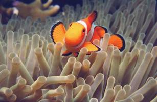 clownfish and coral symbiotic relationship